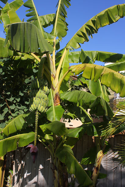 I was a little kid, but this is what I remember our banana tree looking like.