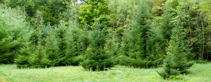 Hidden Christmas trees