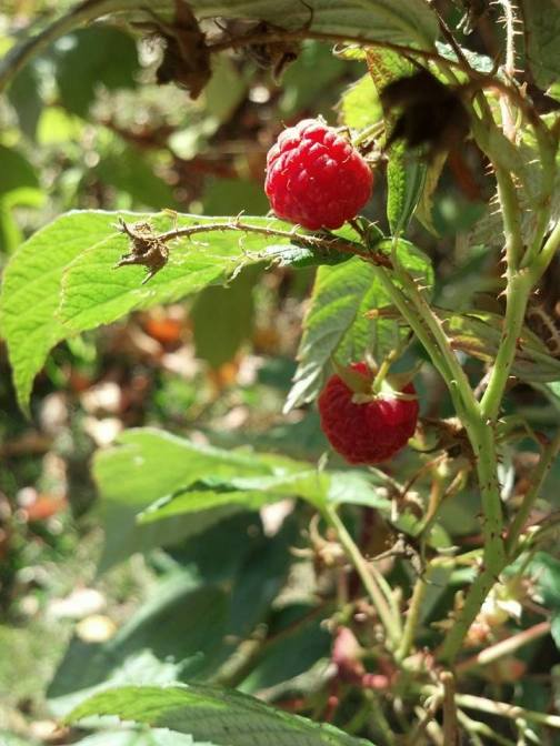 """We still have raspberries, therefore it is still summer."""