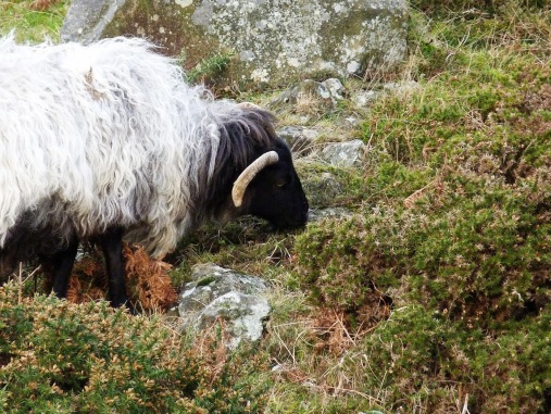 Even a cool black-and-white sheep in Ireland.